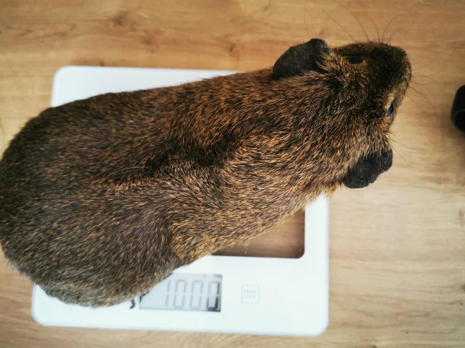morče na váze 1 kg